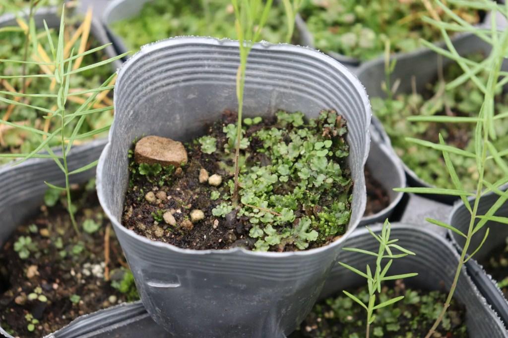 ゼニゴケを取り土がへったポット苗。