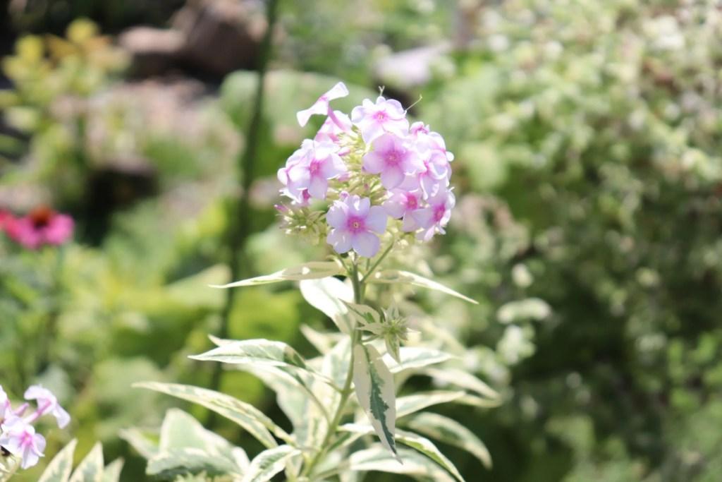 斑入り宿根フロックスの花