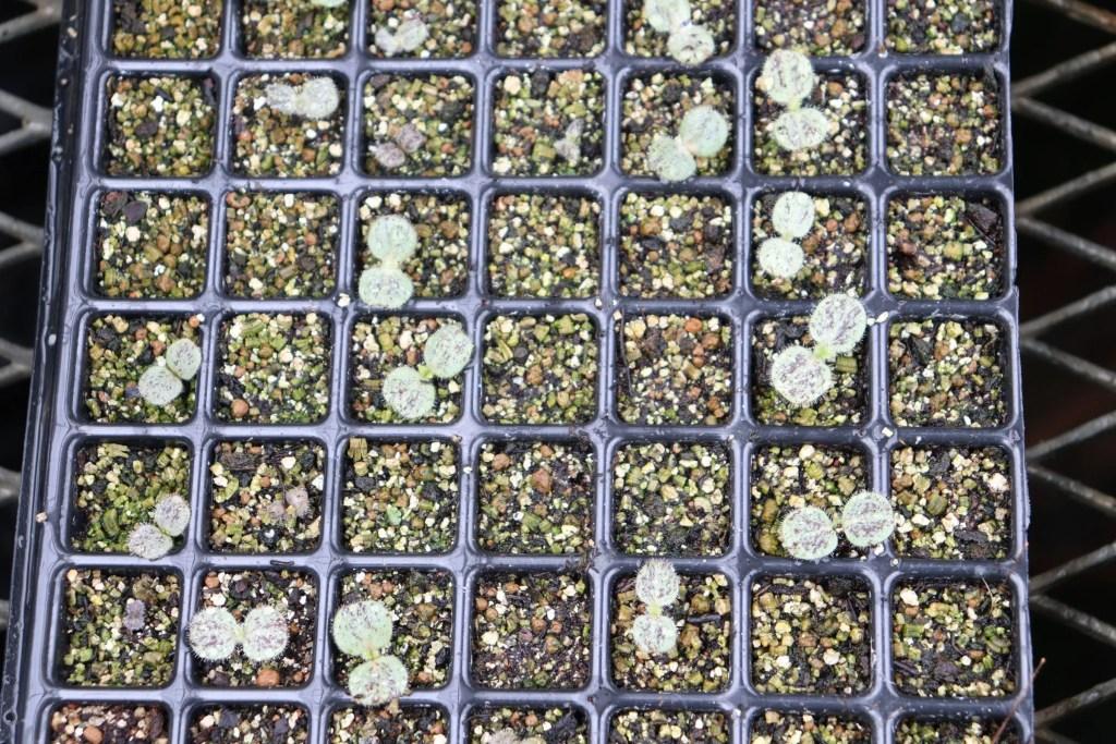 エキウム ウィルドプレッティの発芽と幼葉