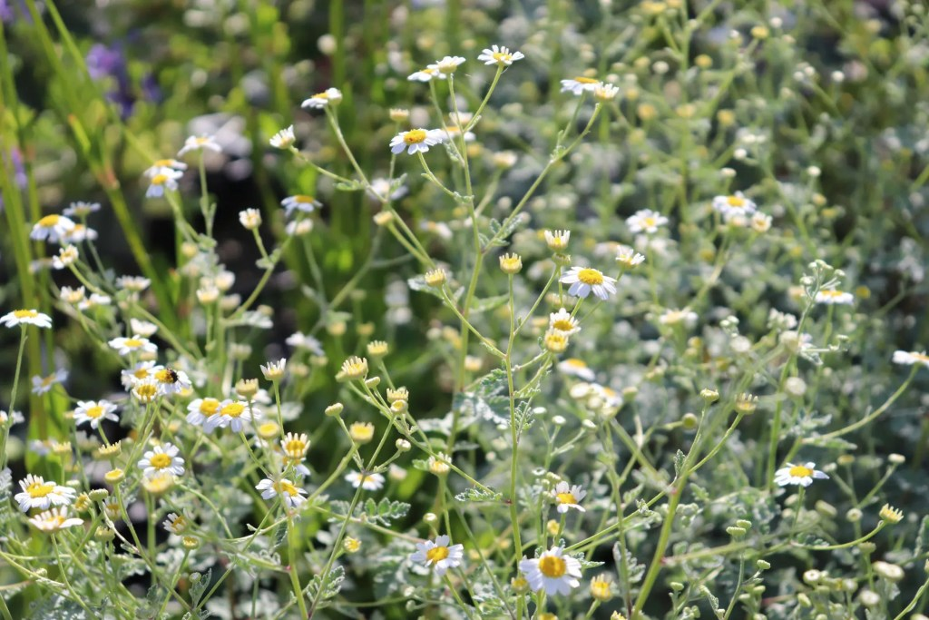 タナセツム ジャックポットの花