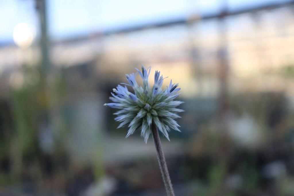 エキノプス スファエロケファルスの花