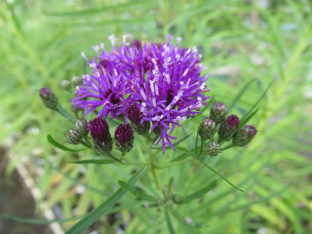 バーノニア レターマニーの花