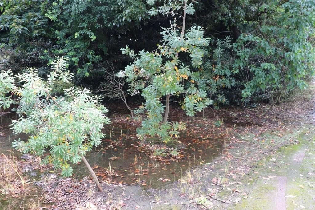 水たまりに生えるバンクシア