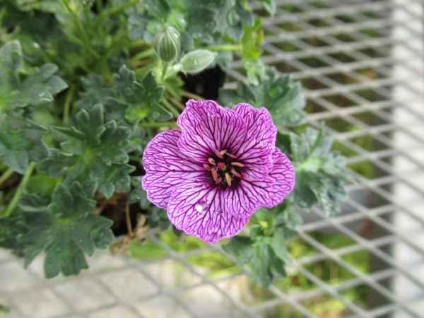 geranium-cinereum-lawrence-flatman