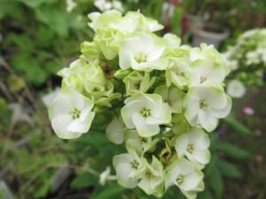 宿根フロックス ジェイドの花