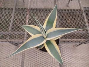 アガベ グイグエンゴーラの斑入り種です。