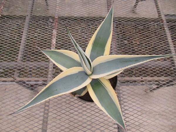 agave005