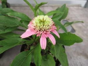 エキナセア バタフライキッスの苗を販売しています。