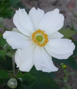 anemone002