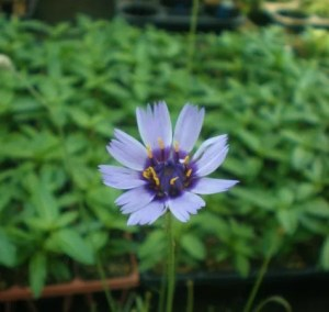 catananche001