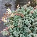 セダム ダシフィルムの苗が開花しました。
