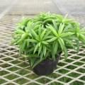 ペペロミア ハッピービーンの苗です。