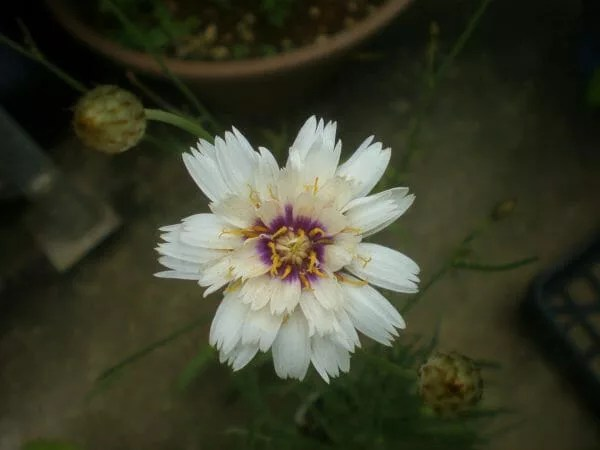 catananche002