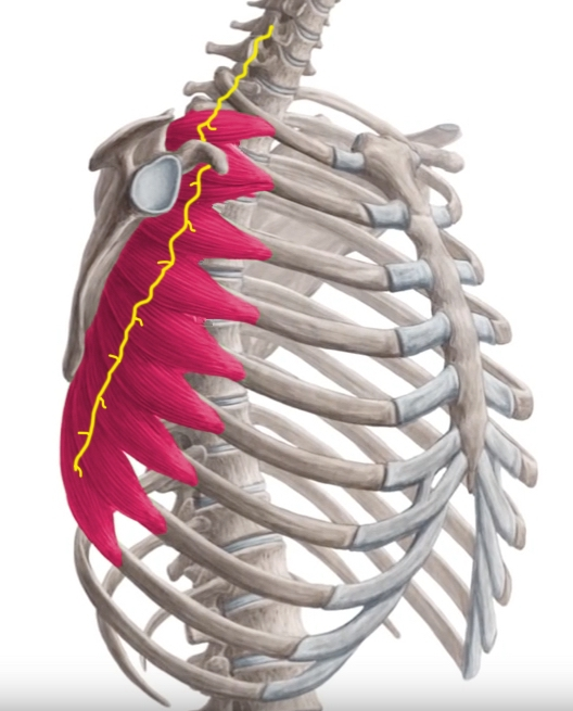 Serratus Anterior Weakness One Of Many Reasons For Shoulder Blade