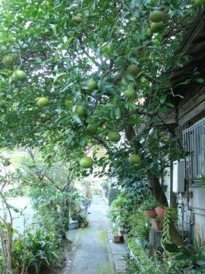 奄美大島のゲストハウス「昭和荘」近所のフルーツ並木道