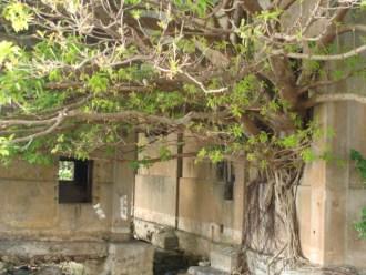 奄美大島南部・古仁屋のAコープ裏の樹