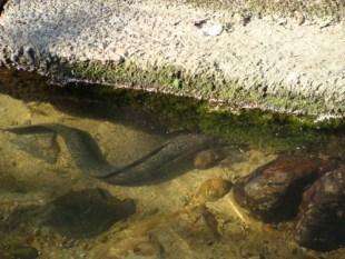昭和荘目の前の小川のオオウナギ