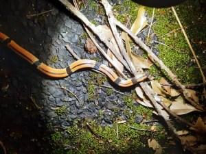 昭和荘のナイトツアーで見た毒蛇