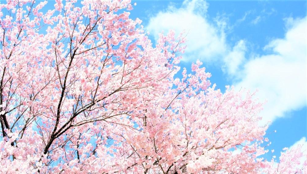 桜 満開 japanese-cherry-blossoms-sakura-in-full-bloom