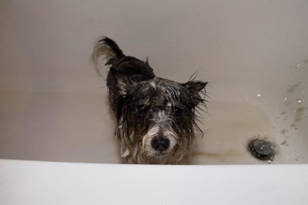 Dog getting a bath but not enjoying it
