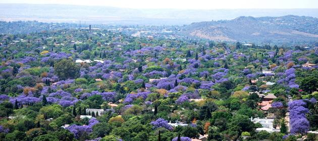 Jacarandas blooming in Pretoria.