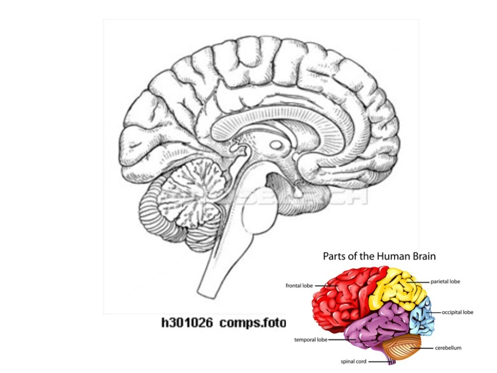 medium resolution of brain parts and functions science biology anatomy human body showme