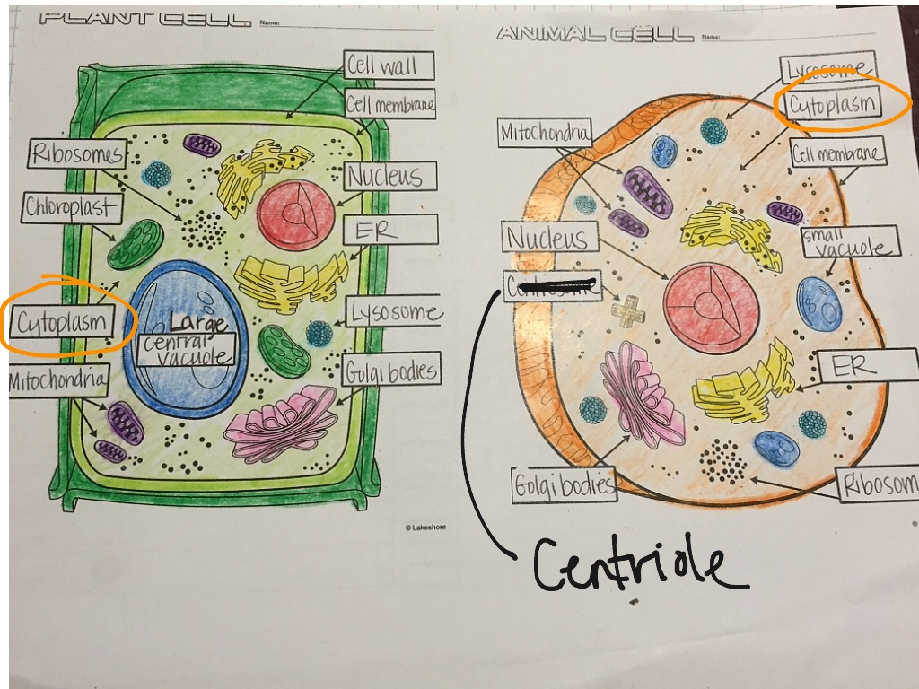 hight resolution of showme animal and plant cell pictures simple animal and plant cell diagram photo album diagrams