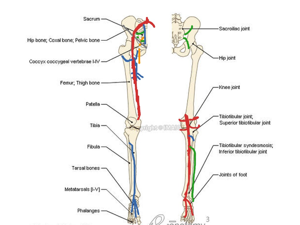 lower leg nerve diagram peterbilt parts showme limb most viewed thumbnail