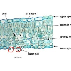 Dicot Leaf Diagram Minco Rtd Wiring Showme Plant Histology