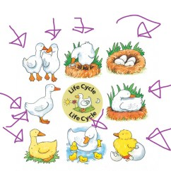 Bird Life Cycle Diagram 2012 Mazda 6 Fuse Of A Duck Science Showme