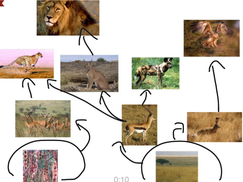 savanna animal food chain diagram single phase to 3 inverter wiring biome web science showme