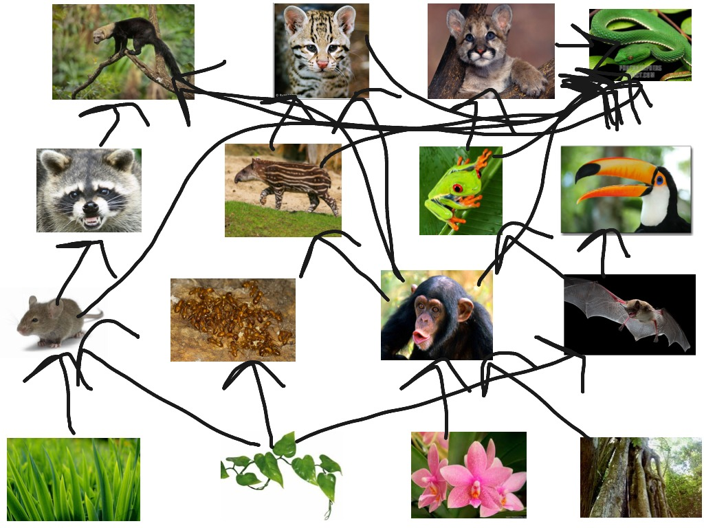 temperate forest food web diagram 97 civic ex radio wiring showme tropical rainforest