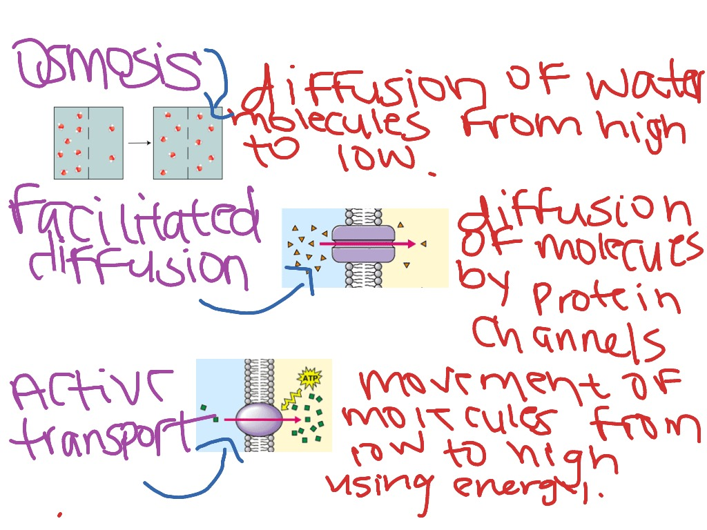 Osmosis Facilitated Diffusion Active Transport