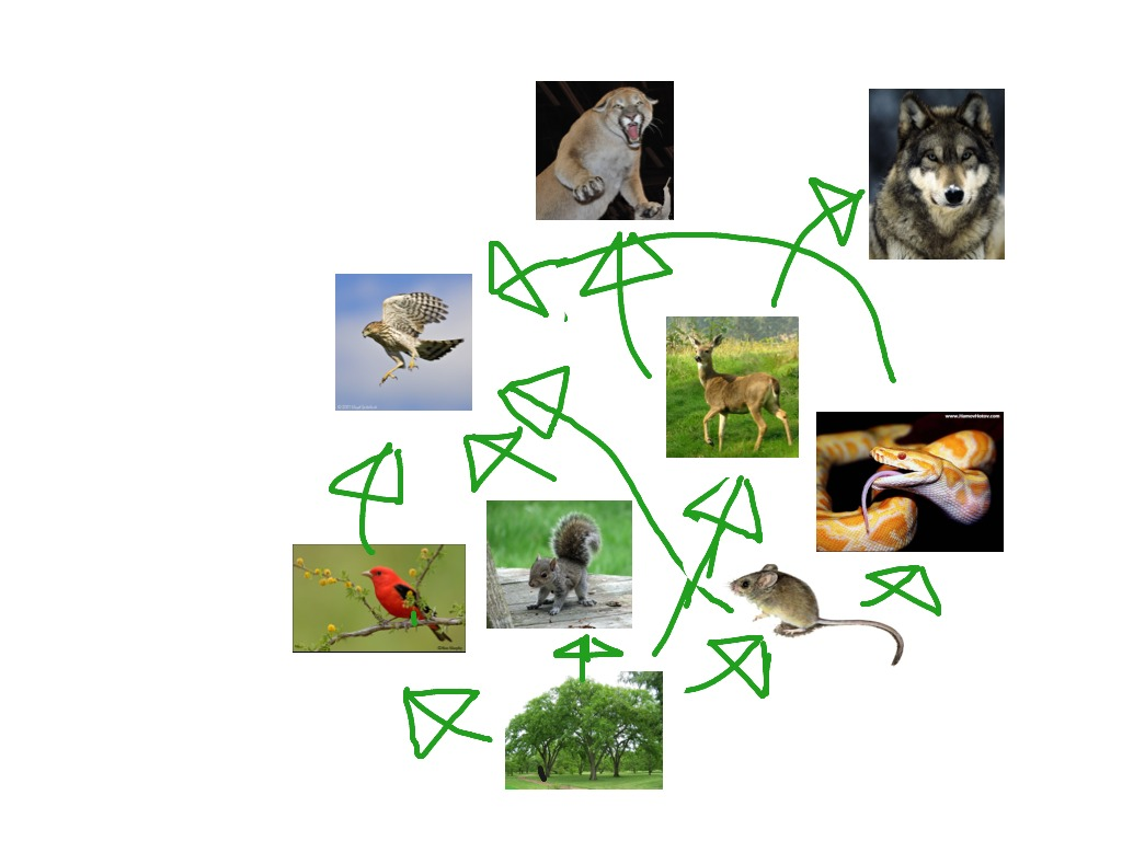 Forest Biome Food Web