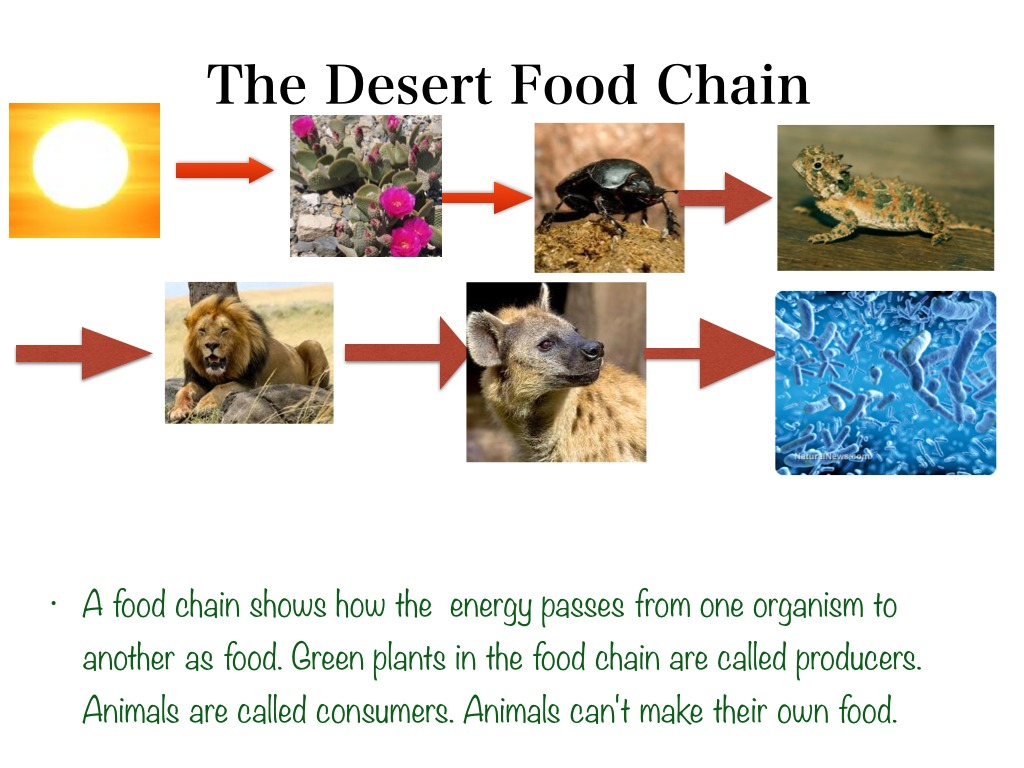 Food Chain Of The Desert
