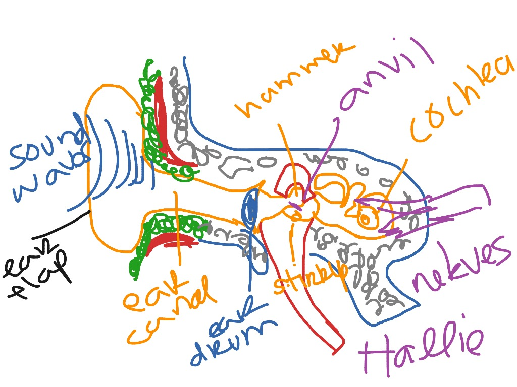 Unlabeled Diagram Of The Ear