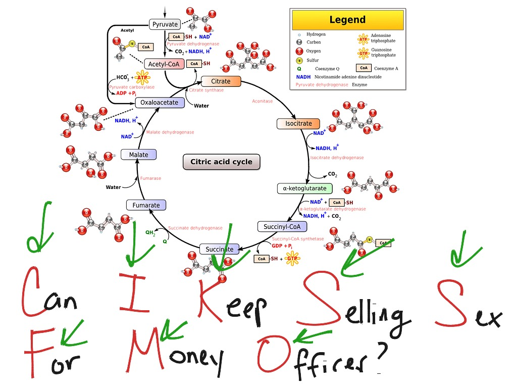 28 Diagram For Krebs Cycle