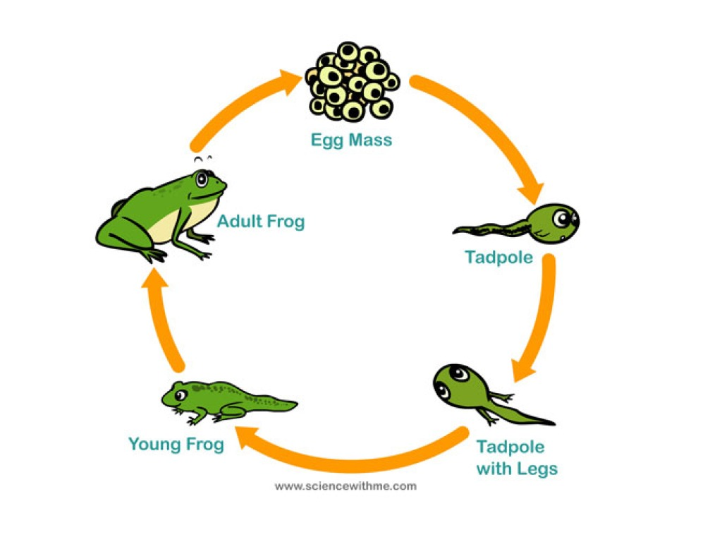 diagram of the life cycle strawberry home electric ersatzteile frog science showme