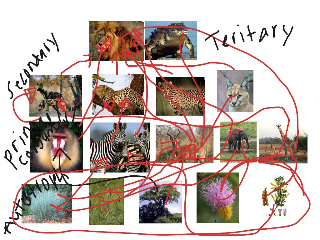 african elephant food chain diagram speaker wiring for 2006 chevy silverado grassland web pictures foodfash co