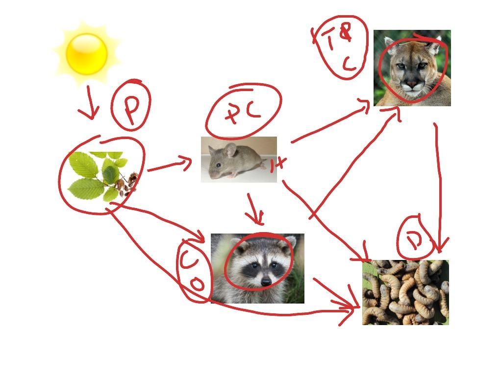 alligator food chain diagram sony cdx gt350mp wiring florida everglades