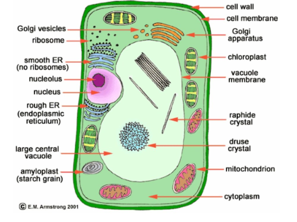 medium resolution of a plant cell diagram
