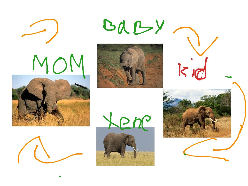 lion life cycle diagram 2001 chrysler pt cruiser starter wiring the of an elephant by sloane science biology