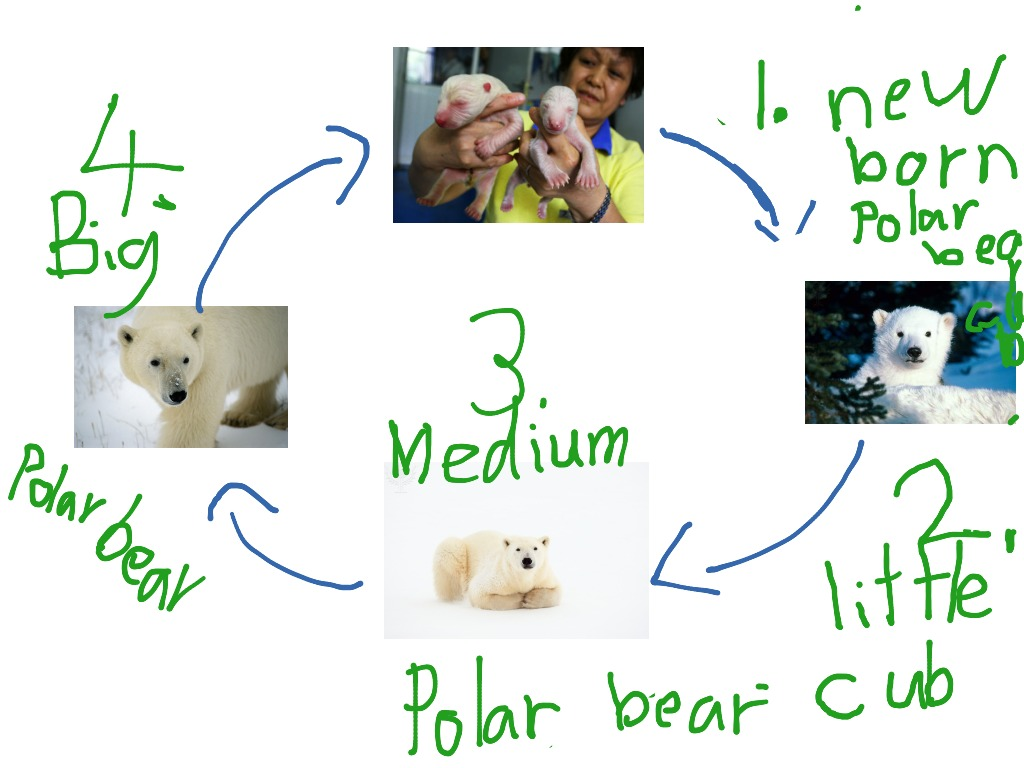 polar bear diagram amana furnace blower wiring the life cycle of a by kaila science biology
