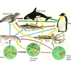 Ocean Food Chain Diagram Jeep Wrangler Wiring 2016 Pictures Of Marine Impremedia