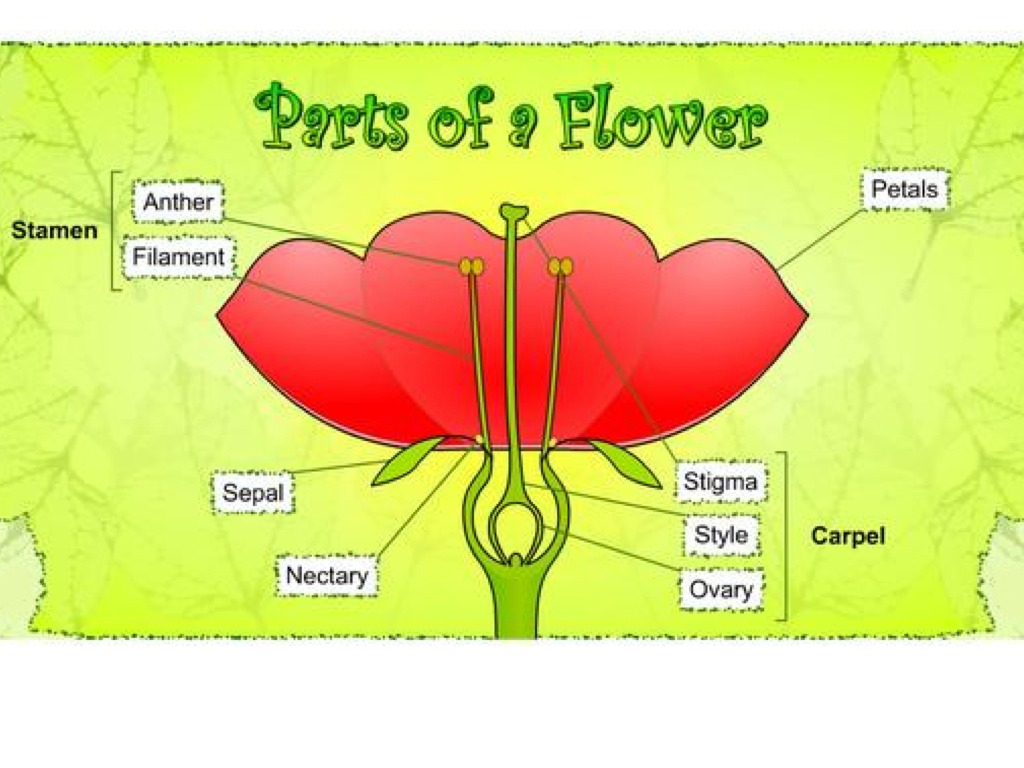 labelled diagram of hibiscus flower cat5e keystone wiring parts a science plants biology showme
