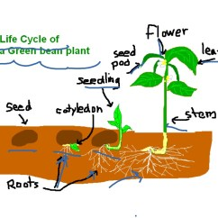 Bean Seedling Diagram Honda 450 Es Carburetor Life Cycle Of A Green Plant Showme