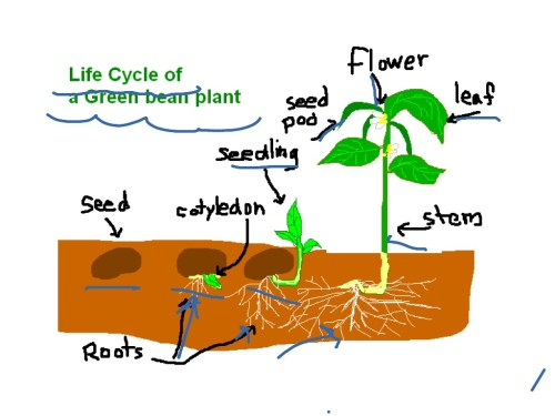small resolution of showme life cycle of a orange tree diagram of life cycle of orange tree