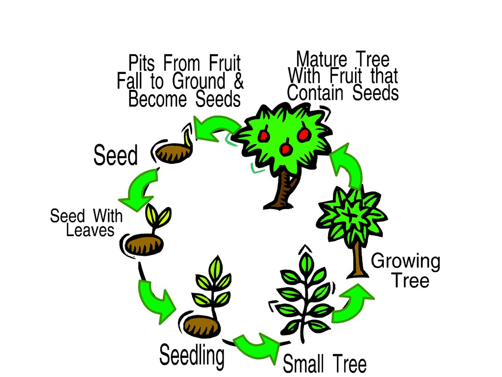 Life Cycle Of A Mature Tree