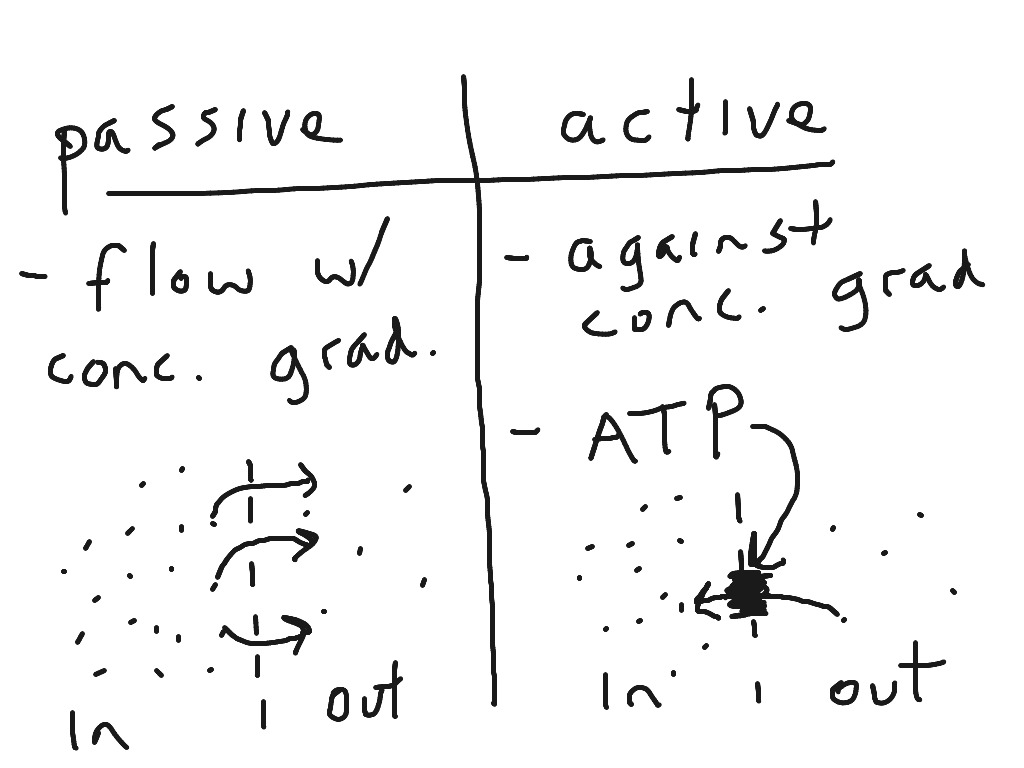 Active And Passive Transport Venn Diagram