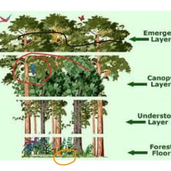 Forest Canopy Diagram Piles Pictures And Symptoms Diagrams Showme Rainforest Layers